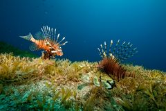 Lionfish and seagrass Royalty Free Stock Images