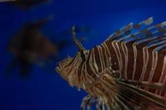 Lionfish-sebra eller sebrafisk eller randig lionfishlat Pteroisvolitans är en fisk av skorpionfamiljen fotografering för bildbyråer