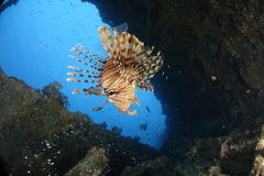 A lionfish in a shipwreck in the REd Sea, Egypt. A lionfish hunting in a sunken ship in the Red Sea, Egypt royalty free stock photography