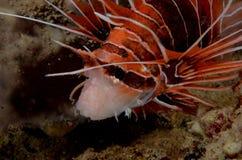 Lionfish Stock Image