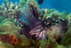 Lionfish Sipadan ö, Sabah Royaltyfri Foto