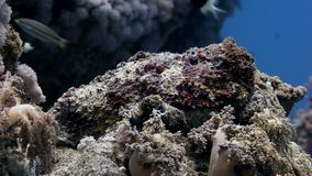 Lionfish skorpionu ryba na czysty podwodnym zbiory wideo