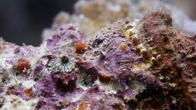 Lionfish skorpionu ryba na czystym dnie morskim podwodnym zbiory wideo