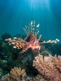 Lionfish sobre el arrecife de coral con los haces del sol Fotos de archivo