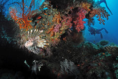 Lionfish and soft coral in Similan Stock Photography