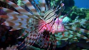 Lionfish som svävar över en korallrev dyka rött hav egypt stock video