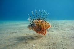 Lionfish sopra il fondo sabbioso Immagini Stock Libere da Diritti