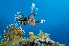 Lionfish sopra la barriera corallina fotografia stock libera da diritti