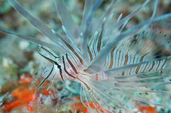 Lionfish in south Florida Stock Image
