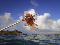 Lionfish on a Spear. An invasive species in Belize and throughout the Caribbean, lion fish are speared by local divers stock image