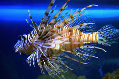 Lionfish. Straightened fins and rose to a surface royalty free stock image