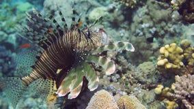 Lionfish sulla barriera corallina subacquea archivi video