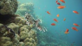 Lionfish sulla barriera corallina subacquea video d archivio
