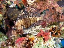 Lionfish sulla scogliera fotografia stock