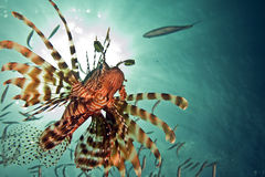 Lionfish, sun and ocean Royalty Free Stock Photo