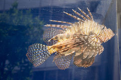 Lionfish swim in aquarium glass tank Royalty Free Stock Photography