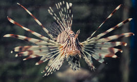 Lionfish swiming. Orange Lionfish, Turkeyfish, Firefish, Butterfly-cod in aquarium Stock Photos