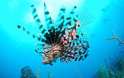 Lionfish swimming in blue sea Stock Photos