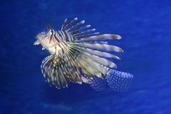 Lionfish swimming in blue sea. Underwater view of lionfish swimming in blue sea Royalty Free Stock Photography
