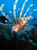 Lionfish swimming into feather star; Great Barrier. Striped red and white lionfish swimming downwards into a red and black featherstar on a pristine underwater royalty free stock photos