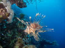 Lionfish swimming in front of coral reef Stock Images