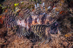 Lionfish swimming in Gili, Lombok, Nusa Tenggara Barat, Indonesia underwater photo Royalty Free Stock Photo