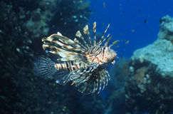 Lionfish swimming in ocean royalty free stock photo