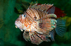Lionfish swimming in the sea Stock Photos