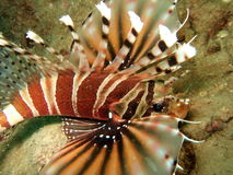 Lionfish swimming in sea Royalty Free Stock Photography