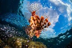 Free Lionfish Swims Around The Reef Stock Photo - 168826450