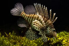 Lionfish in tank Royalty Free Stock Photography