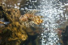 Lionfish in tank at aquarium in coral background. Very beautiful Royalty Free Stock Image