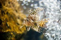 Lionfish in tank bij aquarium op koraalachtergrond royalty-vrije stock afbeeldingen