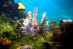 Lionfish in tropical aquarium Royalty Free Stock Image