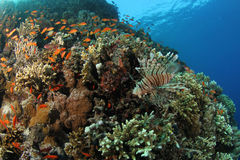 Lionfish on a tropical coral reef in the Red Sea. If you look very closely you can see a well camouflaged scorpionfish just on the left of the lionfish. Both stock photo