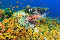 Lionfish and tropical fish on a coral reef. Lionfish and tropical fish swarm around a large green salad coral on a tropical reef in the Red Sea royalty free stock photos