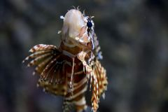 Lionfish tropical fish stock images