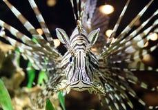 Lionfish at tropical paradise caribbean island Royalty Free Stock Image