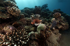 Lionfish and tropical reef. Stock Images