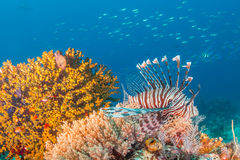 A lionfish on a tropical reef Stock Image