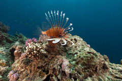 Lionfish and tropical reef in the Red Sea. Stock Photography