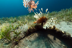 Lionfish in the tropical waters of the Red Sea. Royalty Free Stock Photo