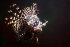 Lionfish tropicale Fotografia Stock