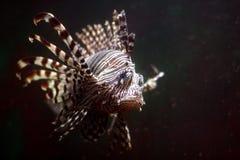 Lionfish tropicale Fotografia Stock