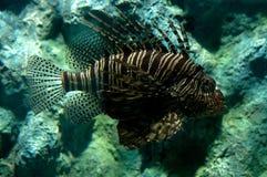 Lionfish tropicale del pesce fotografia stock libera da diritti