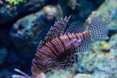 Lionfish, Turkeyfish, Firefish, vlinder-Kabeljauw Royalty-vrije Stock Afbeelding