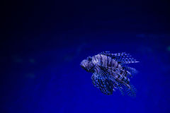 Lionfish Turkeyfish, Pterois miles in saltwater tank Royalty Free Stock Photos