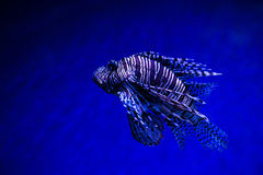 Lionfish Turkeyfish, Pterois miles in saltwater tank Stock Images