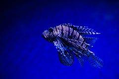 Lionfish Turkeyfish, Pteroismeilen im Salzwasserbehälter Stockbilder