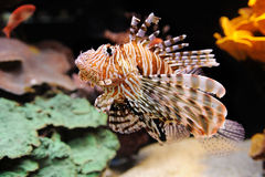 Lionfish Turkeyfish in the Red Sea. Royalty Free Stock Photos